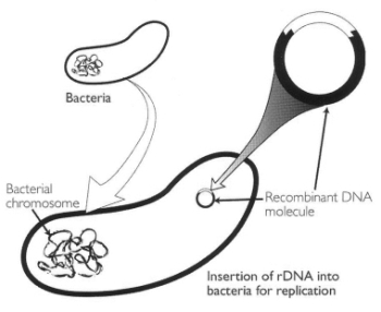Figure. The insertion of recombinant DNA so that the foreign DNA will replicate naturally, as pioneered by Herbert Boyer and Stanley Cohen.