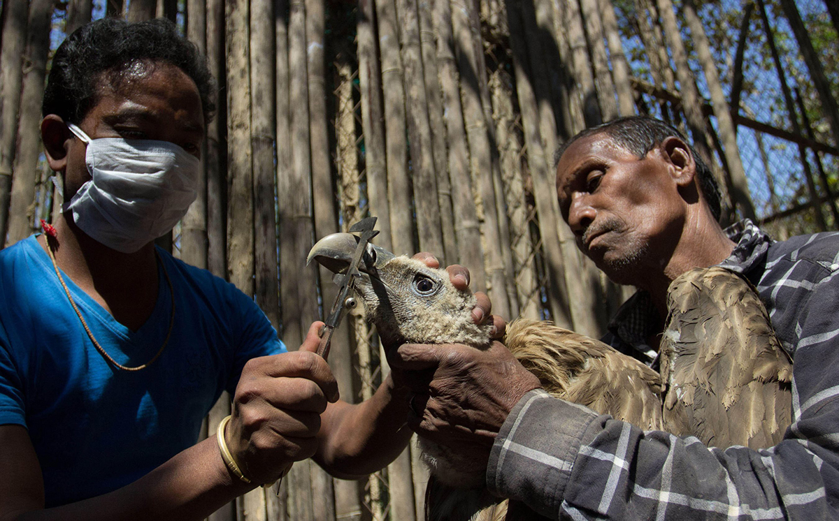 Workers hold a vulture while measuring its beak