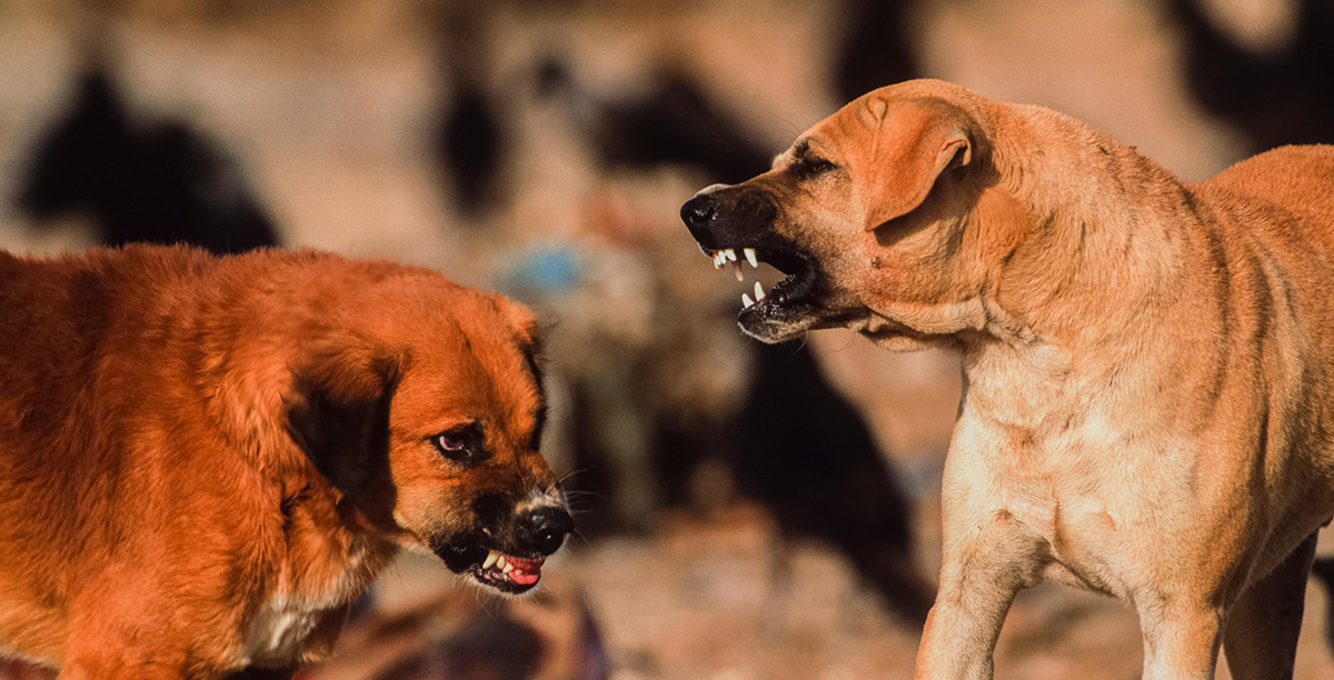 Feral dogs baring teeth