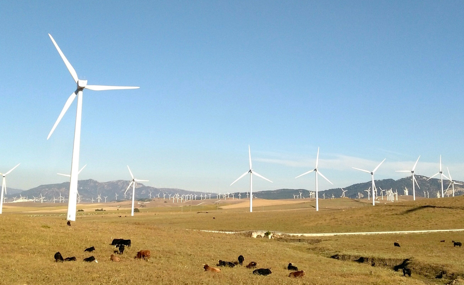 Wind turbines and a herd of cattle