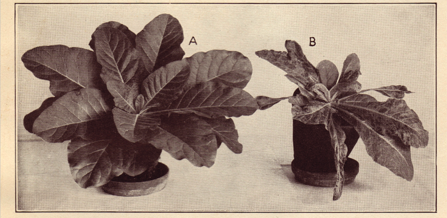 Two tobacco plants, one with tobacco mosaic virus