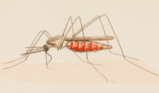 Color anatomical drawing of a mosquito