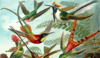 Haeckel illustration of hummingbirds