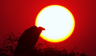 Silhouette of a vulture in front of a low sun.