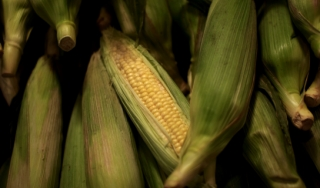 Genetically engineered corn