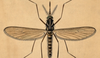 Drawing of an anopheles mosquito