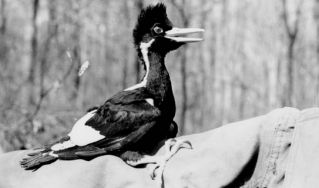 Black and white photo of Sonny Boy the Woodpecker