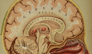 Three-dimensional anatomical diagram of the brain