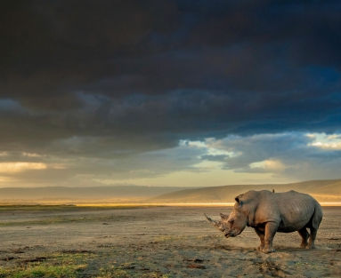 A white rhinoceros in Lake Nakuru, Kenya.