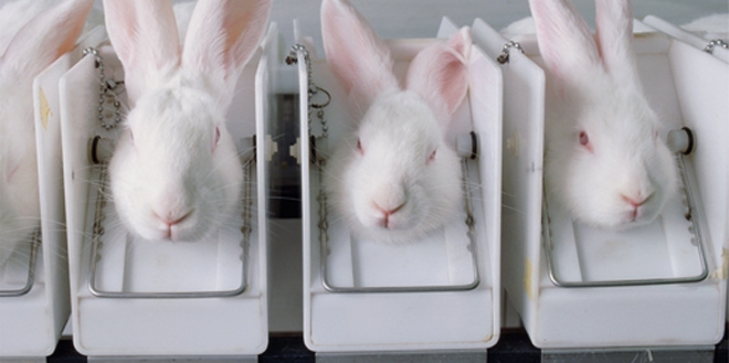Rabbits in a cosmetics testing laboratory