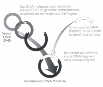 Figure. The process of making recombinant DNA, as pioneered by Paul Berg.