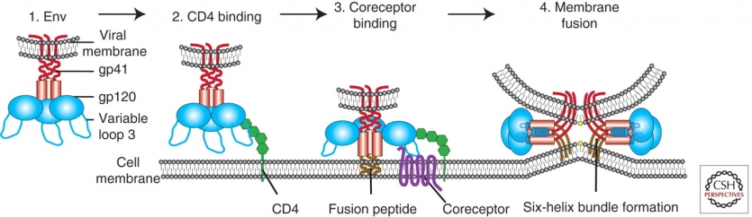 An overview of HIV cell binding and entry