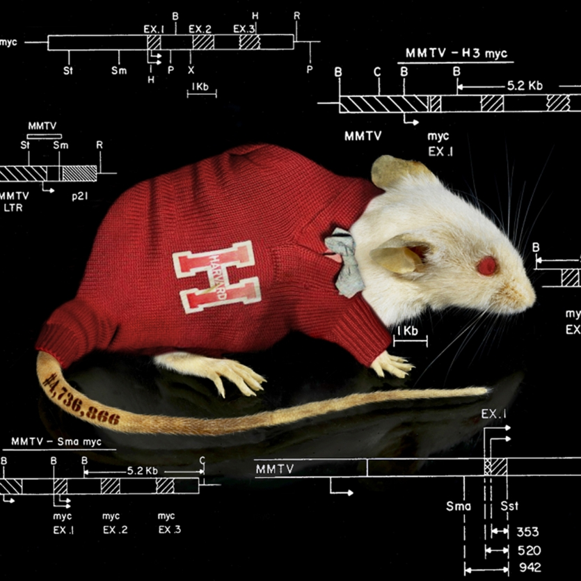 Lab mouse in red Harvard sweater/bowtie