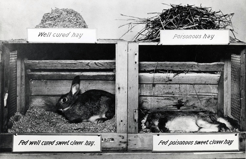 Undated photo of an experiment in Link's lab showing the effects of the poisoned hay.