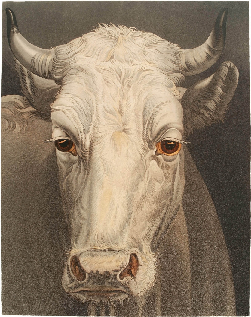 Aquatint print of a cow by Matthew Dubourg, 1810.